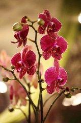 Orchidee_13.jpg